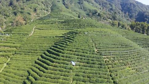 2020年西湖龍井茶開采宣傳片