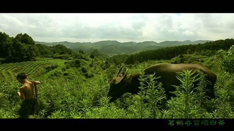 贵州茶宣传片《开阳白茶》贵州宣传片拍摄制作公司